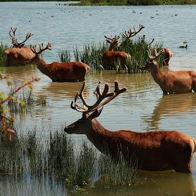 Basque reindeer by Joseph Escopin - Animals Other Mammals ( reindeer, national park, spring time, wildlife, vitoria )