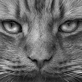 Mono Frank Face by Chrissie Barrow - Black & White Animals ( mono, face, closeup, cat, monochrome, portrait )