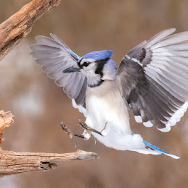 Blue Jay Landing 1902245996 by Carl Albro - Animals Birds ( flight, landing, bird in flight, blue jay, bird, flying, wild, wildlife )