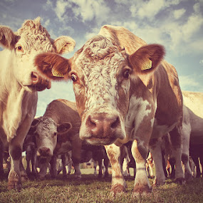 The curious cows  by Marie Gillander - Animals Other ( cow )