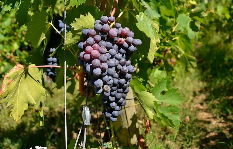 L'uva  di vb63