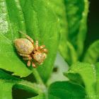 Cytaea sp. 胞蛛屬