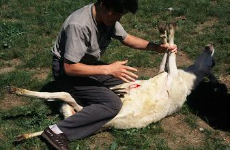 Photo: 03454 シリンホト近郊/ノルボ家/羊の解体