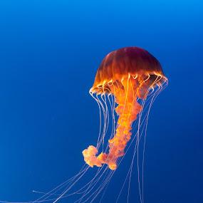 Orange Drift by Tim Davies - Animals Sea Creatures ( orange, blue, sting, ocean, drift, jellyfish,  )