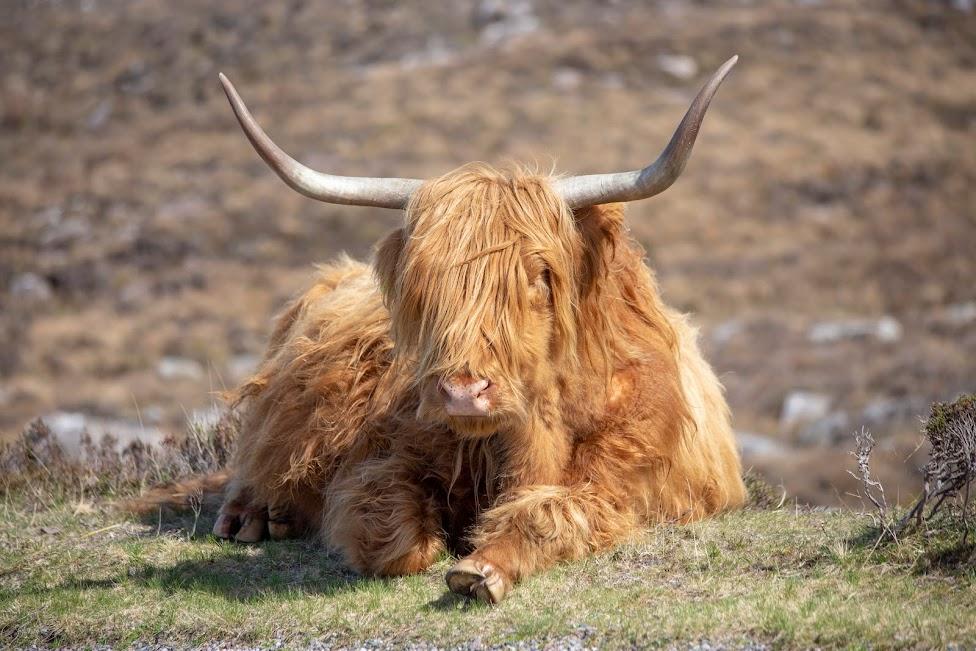 Szkocja, North Coast 500, szkocka krowa, Dlaczego warto jechać do Szkocji
