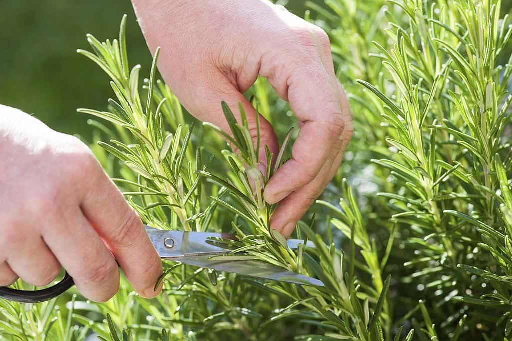 Rosemary plant - What Does Rosemary Taste Like?