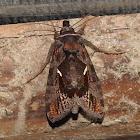 Copper spodoptera