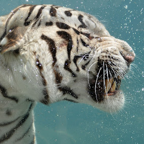 Clenched teeth. by Nancy Chan - Animals Other Mammals ( white tiger, tiger, swimming tiger )