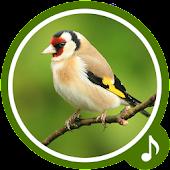 Bird Sounds - Bird Ringtones