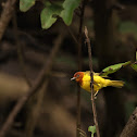 Mangrove Warbler (Bryant's), Bryant's Golden Warbler