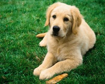 Золотистый ретривер (Golden Retriever) - это умная, энергичная и  дружелюбная порода собак. Фото, описание, цены, отзывы владельцев.