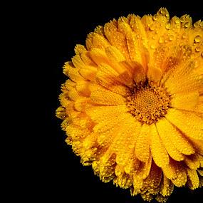 Big yellow by Danny Charge - Flowers Single Flower ( macro, wildflower, yellow flower, detail, wild, water, flower, water drops )