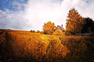 Photo: Light in the vineyards