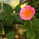 Dog rose; Rosal silvestre