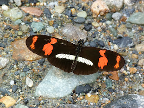 Photo: CHERRY-BARRED (TELESIPHE) HELICONIAN--TRACK TO SAN ISIDRO