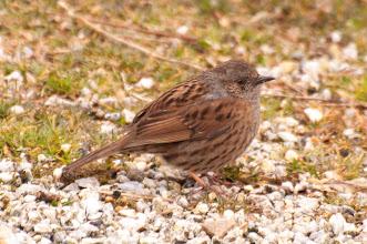 Photo: Redstart, juv. (Gartenrotschwanz); Inchnadamph, SCOT