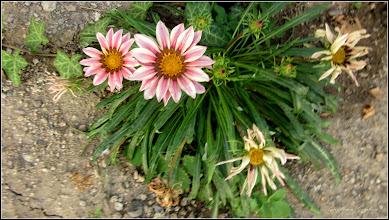 Photo: Floarea comoară, Gazania-margaretă (Gazania spp)  - din Turda, Str. Salinelor, la curte - 2019.08.31