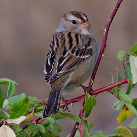 White Crowned Sparrow  by Nick Swan - Animals Birds ( nature, bird, sparrow, white crowned, wildlife )