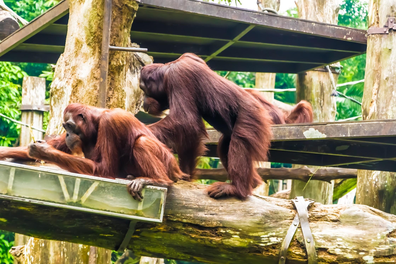 シンガポール動物園 オランウータン3