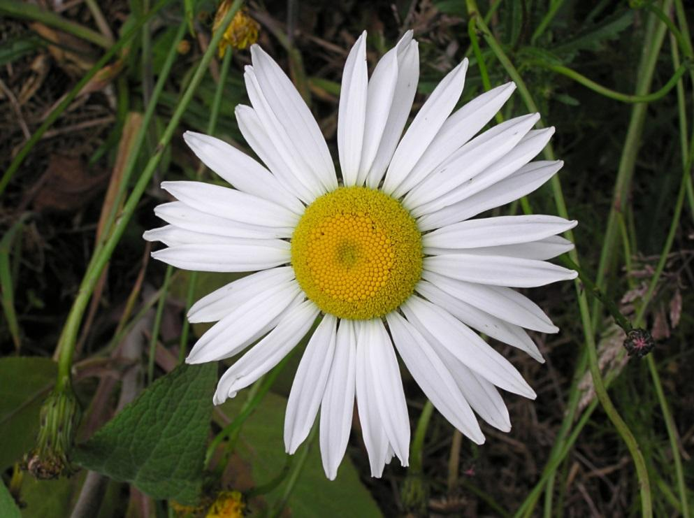 http://cdn3.bigcommerce.com/s-9gu1uo/product_images/uploaded_images/oyxeye-daisy-2.jpg?t=1441418043