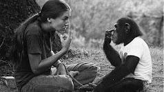 Washoe, chimpancé capturada por los estadounidenses.