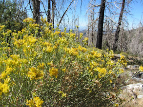 Photo: Rabbit brush adds lots of color through the day