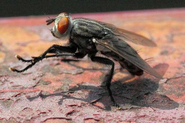 La mosca di Giovanni Coccoli