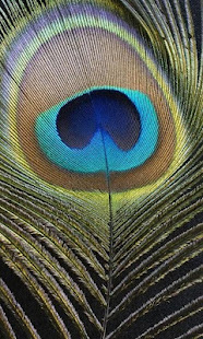HD Peacock Feather Wallpaper