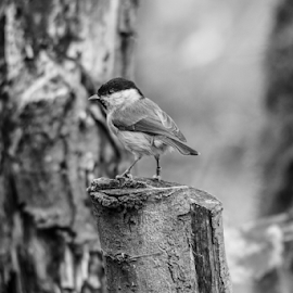 Marsh tit by Garry Chisholm - Black & White Animals ( nature, bird, marsh, tit, wildlife, garry chisholm )