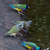 Gouldian Finch (juveniles)