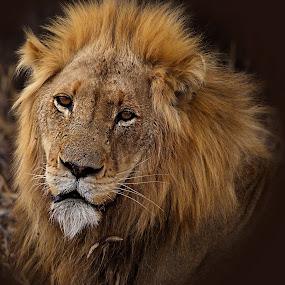 Lion by Johann Fouche - Animals Lions, Tigers & Big Cats ( simba, kruger national park, big five, big cat, lion )