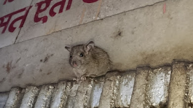 Photo: karni mata temple (rat temple), deshnoke ~ http://jarogruber.blogspot.de/2016/02/northern-india.html