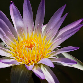 Lavender Water Lily  by Nicolas Los Baños - Nature Up Close Flowers - 2011-2013 ( water, koi, water lily, lavender, garden, pond, flower )