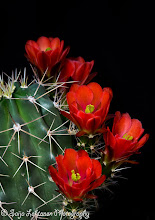 Photo: Good morning from Arizona...... :)  saija-lehtonen.artistwebsites.com  #cactusflowers  #cactusflower  #cactus  #flowersphotography  #flowerscolor  #flowers  #floralphotography  #floraltoday  #Arizona  #southwest