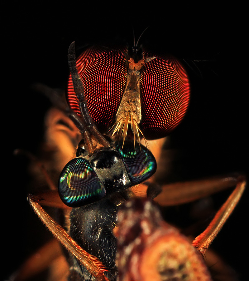 predator by Shikhei Goh II - Animals Insects & Spiders