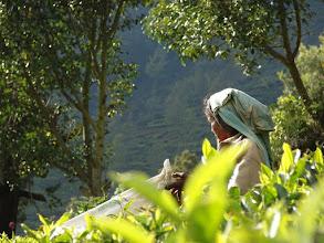 Photo: 7B220951 na plantacji herbaty