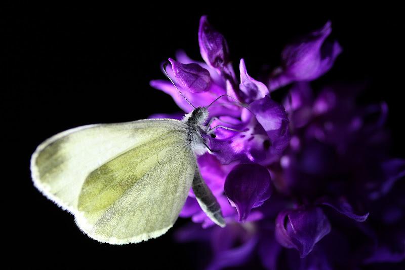Le farfalle non volano di notte di salvol