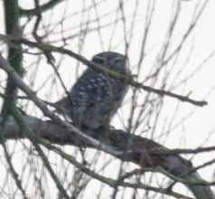 Photo: Little Owl