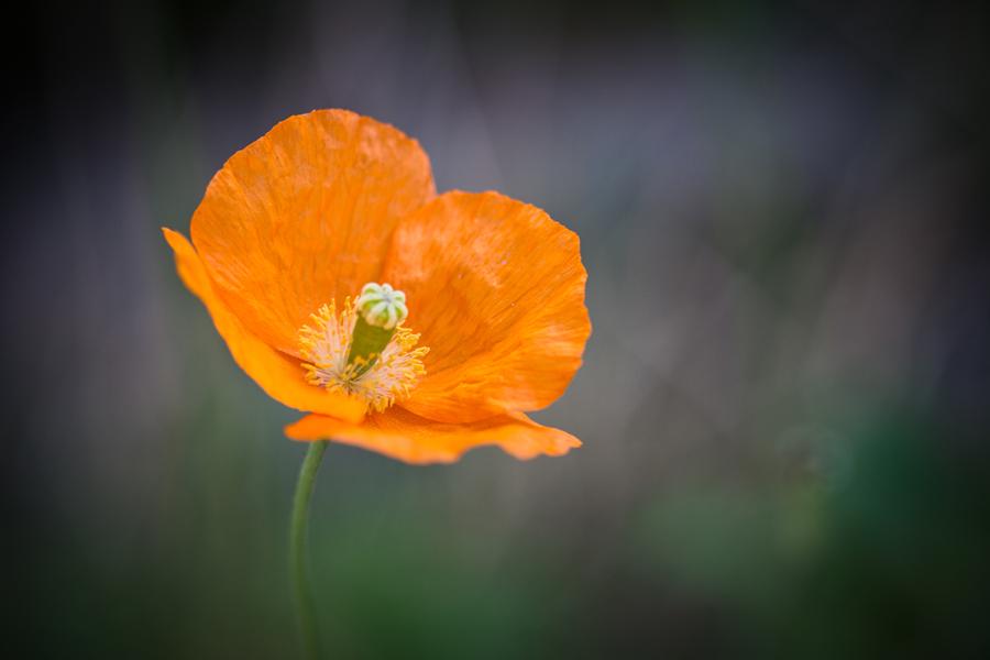 Orange papaver by Sanne Govaert - Nature Up Close Flowers - 2011-2013