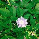 maypop, purple passionflower