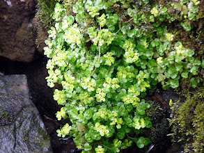 Photo: Opposite-leaved Golden-saxifrage