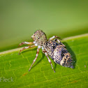 Ornate Jumping Spider