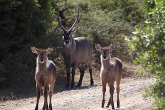 Photo: Ithala NP - Waterbuck