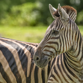 Seeing Stripes by Eric Yiskis - Animals Horses ( zoo, florida, miami, wildlife, zebra, close up, portrait, animal )