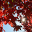 Autumn Sunburst by Becky Luschei - Nature Up Close Trees & Bushes ( sunburst, maple tree, peeking, autumn, leaves, sun )