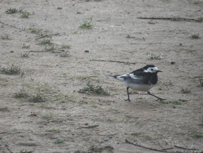 Photo: Priorslee Flash Best foot forward: this male Pied Wagtail steps it out. (Ed Wilson)