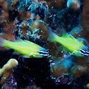 Yellowstriped cardinalfish