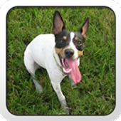 Rat Terrier Theme - Nova/ADW
