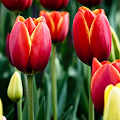 Tulips Flowers HD Wallpapers APK