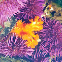 Orange sea cucumber (feeding)